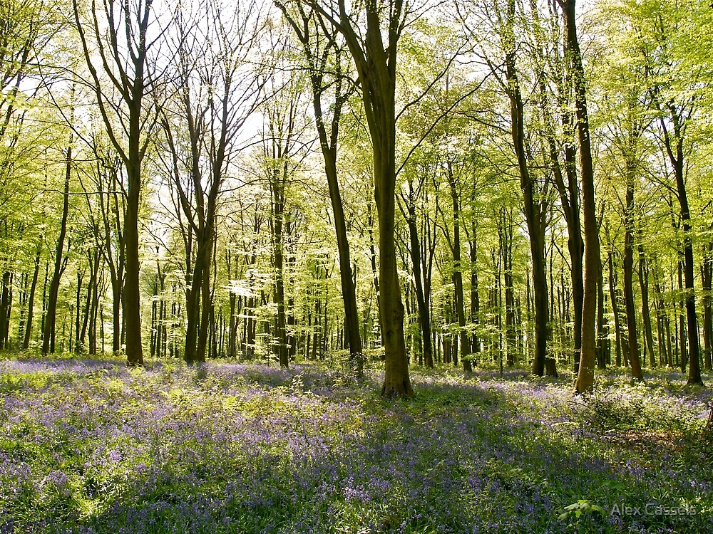 Micheldever Wood in Springtime by Alex Cassels