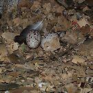 Turkey Vulture Eggs June 2007 by carolcath