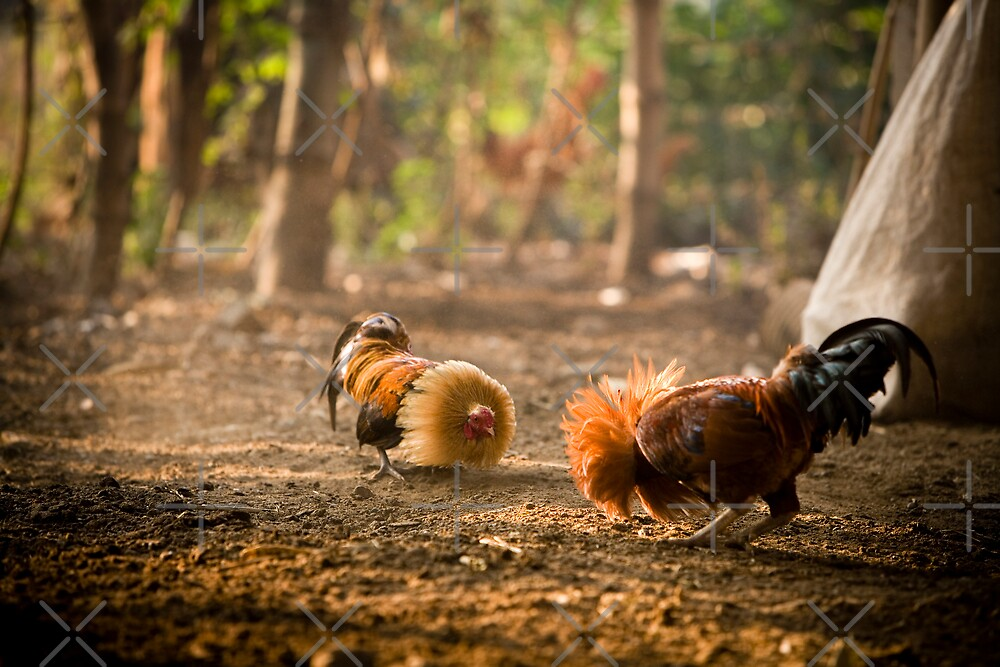 Cock Fighters by Ben Pacificar