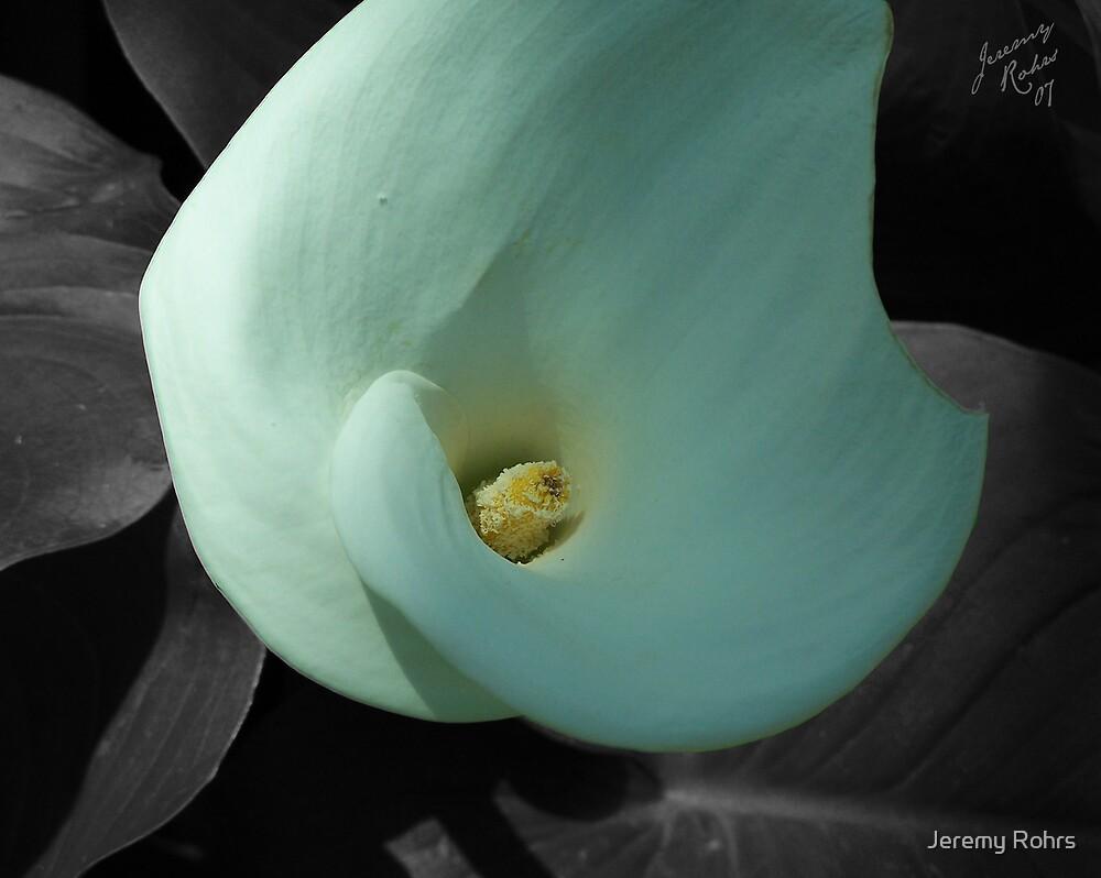 White Canna Lily by Jeremy Rohrs