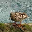 She, The Duck by Marina Krmpotić