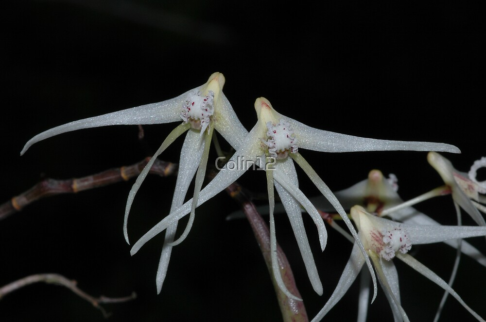 Dendrobium teretifolium flowers by Colin12