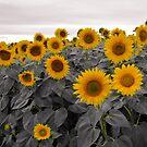 Colby Farms Sunflower #2 by Sam Davis