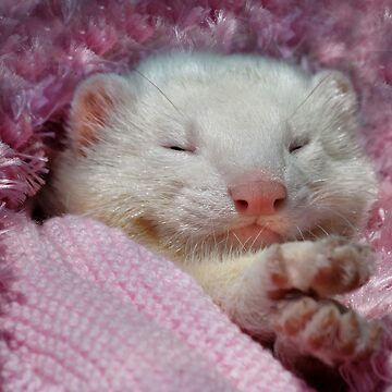 Snoozing Ferret by lance