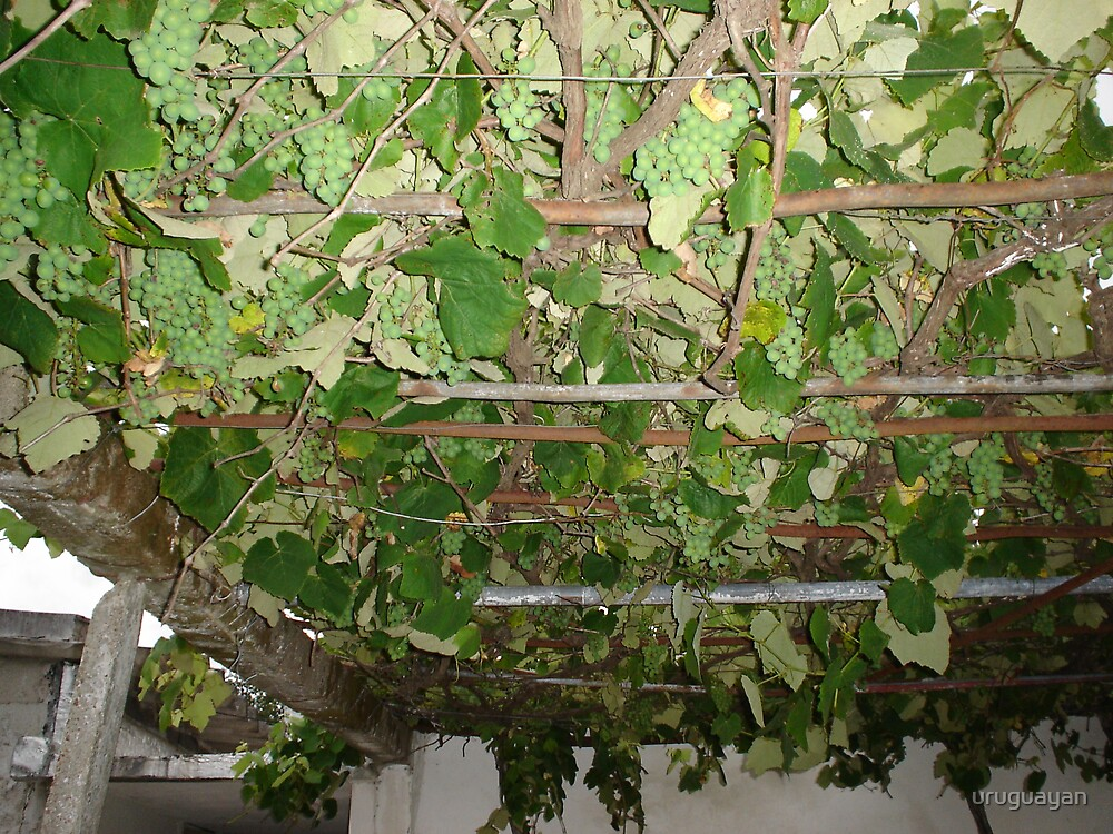 grapes, green picture ,pics ,colours , by uruguayan