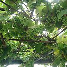 grapes ...to be  by uruguayan