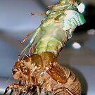 Cicada Shedding Its Skin by ekehoe