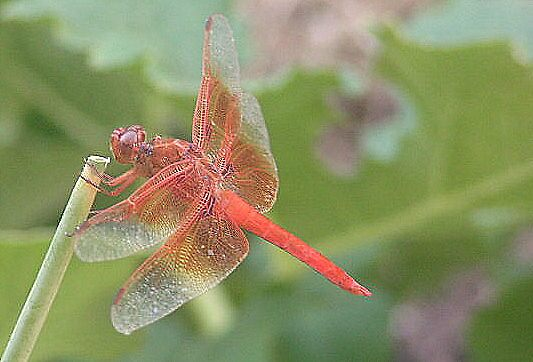 Dragonfly by groucho333