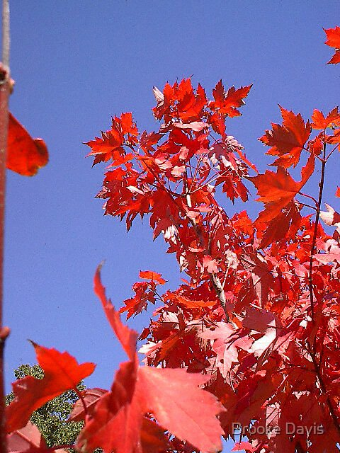Red Leaves Explosion by Brooke Davis