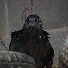 Turkey Vulture  Punk Look by carolcath