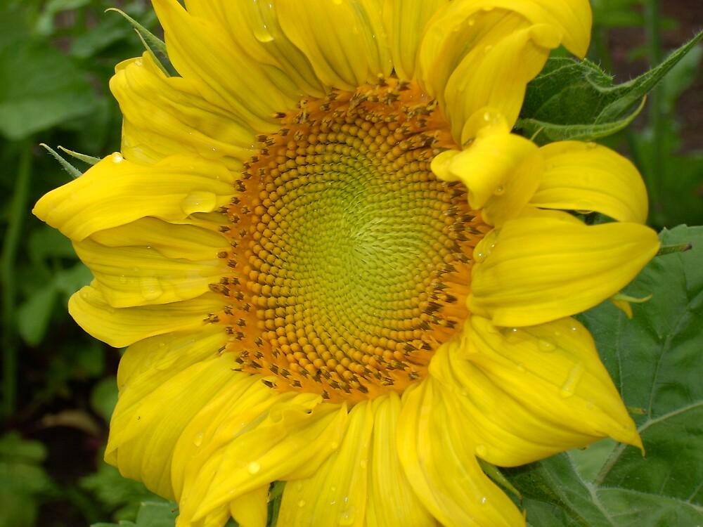 Sunflower by yortman