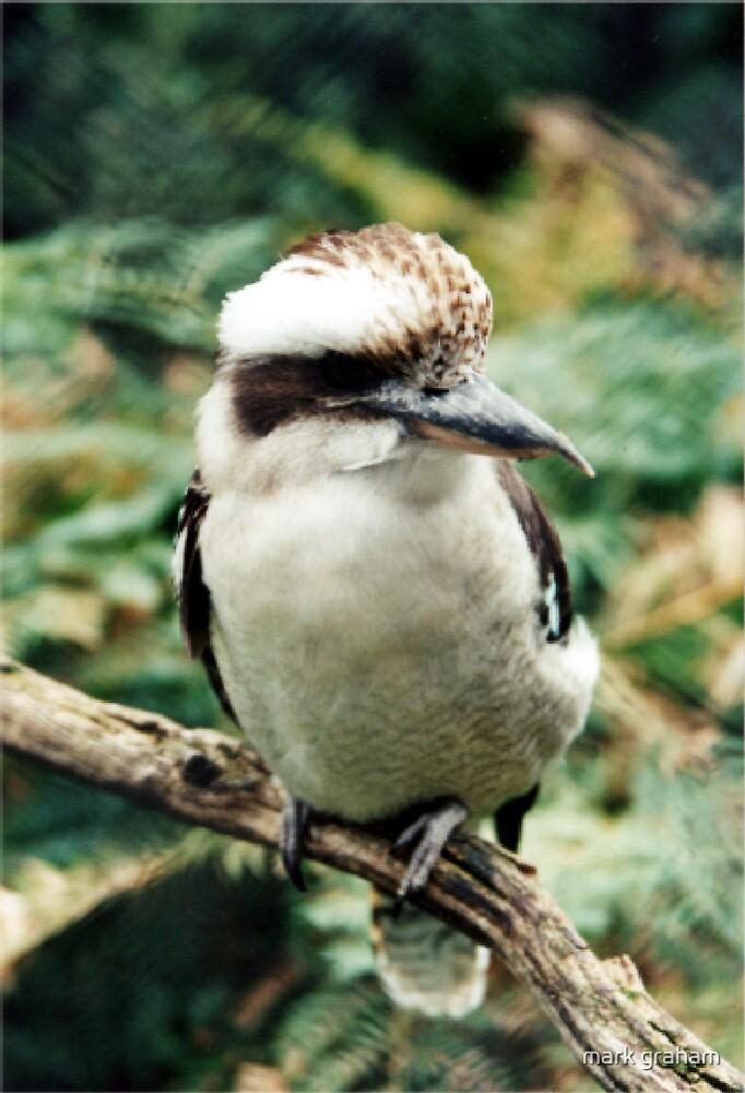 kookaburra in focus by mark graham