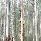 Eucalyptus Regnans Forest by Stephen  Shelley