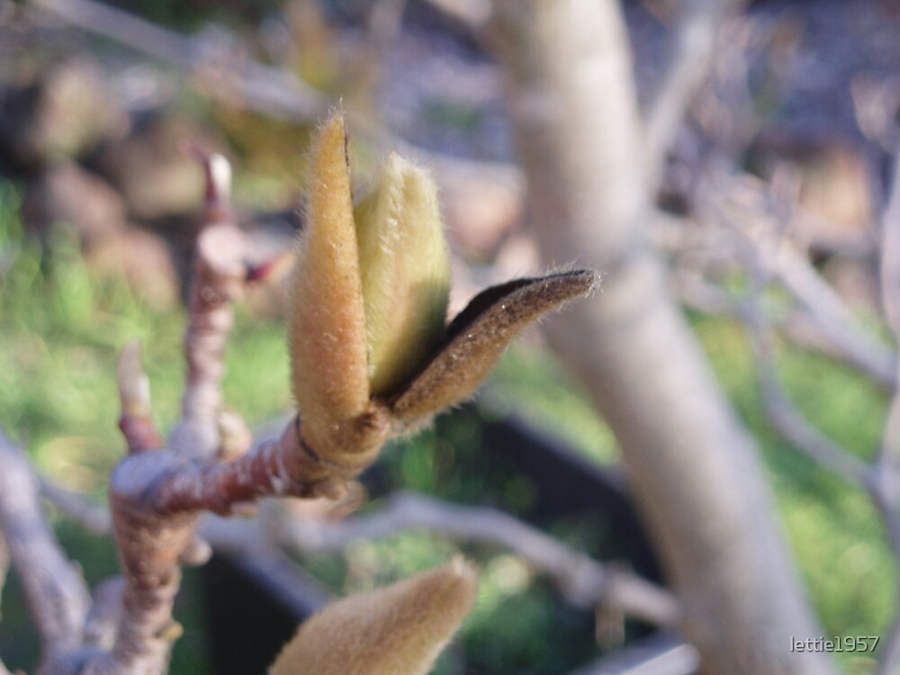 Sign of Spring -  Magnolia Bud..  by lettie1957