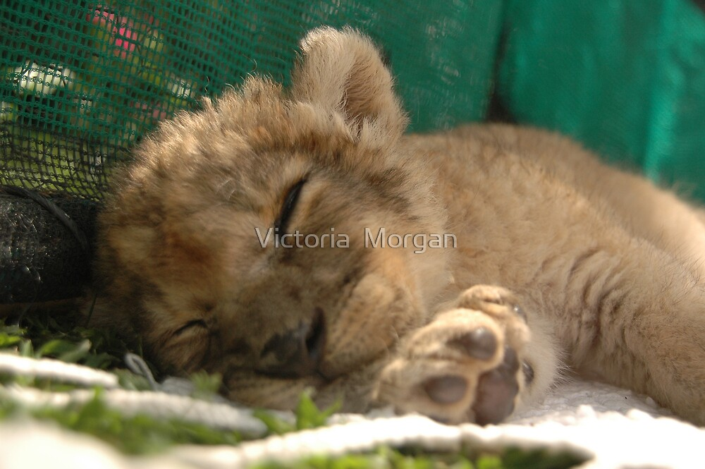 Lion cub sleeping by Victoria  Morgan