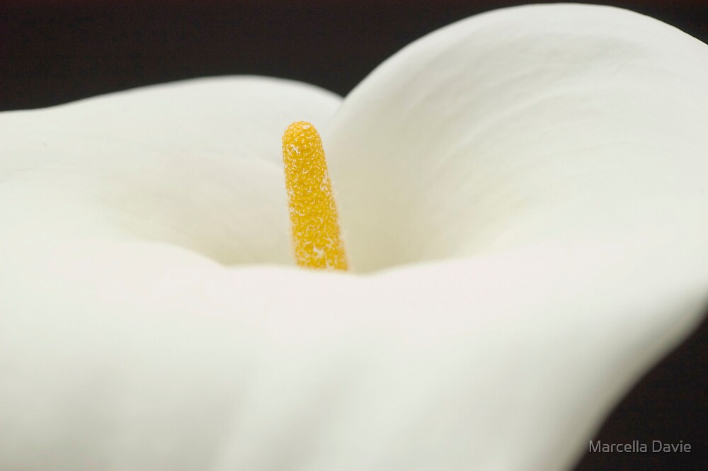 Lily 2 by Marcella Davie