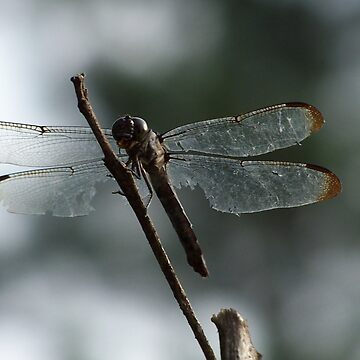 Dragonfly at Rest by shockolot
