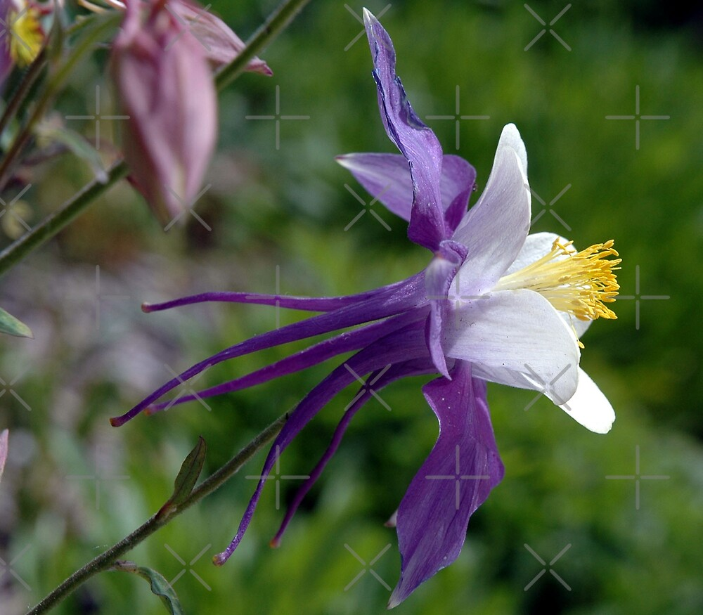 Colorado Columbine by Holly Werner