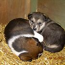 Future sled dogs - Alaska by drewster