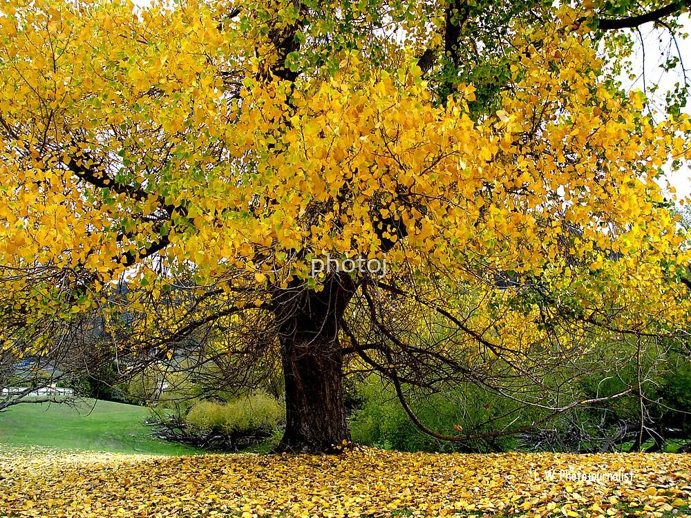 photoj, tasmania autunm tree by photoj