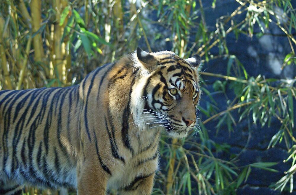angry tiger by simonsinclair