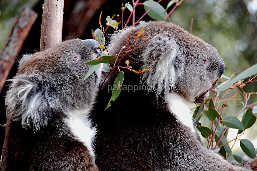 Koalas by patapping