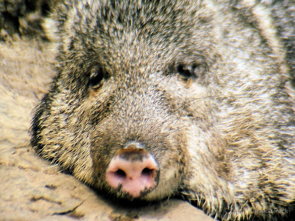 Peccary by Jessica Peck