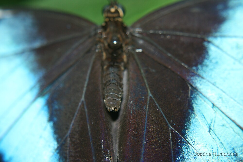 Butterfly in blue by Justine Humphries