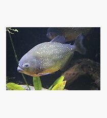 Piranha. Photographic Print