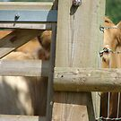 herd me coming? by sfgphotography