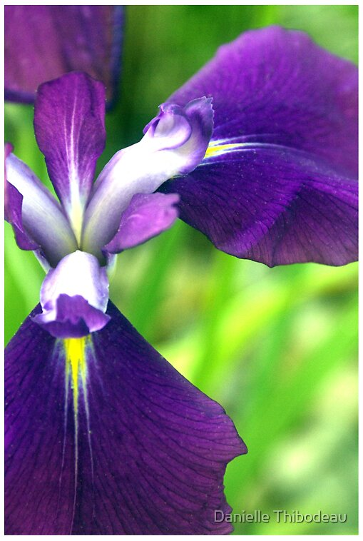 Iris by Danielle Thibodeau