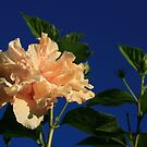 Peach Passions by classical