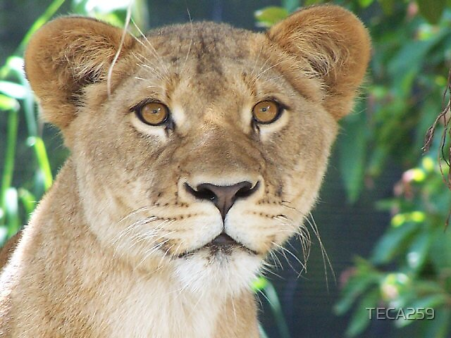 Lioness by TECA259