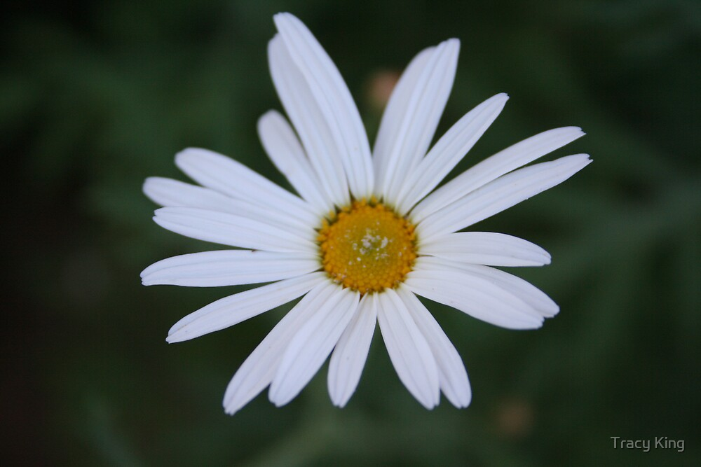 daisy by Tracy King