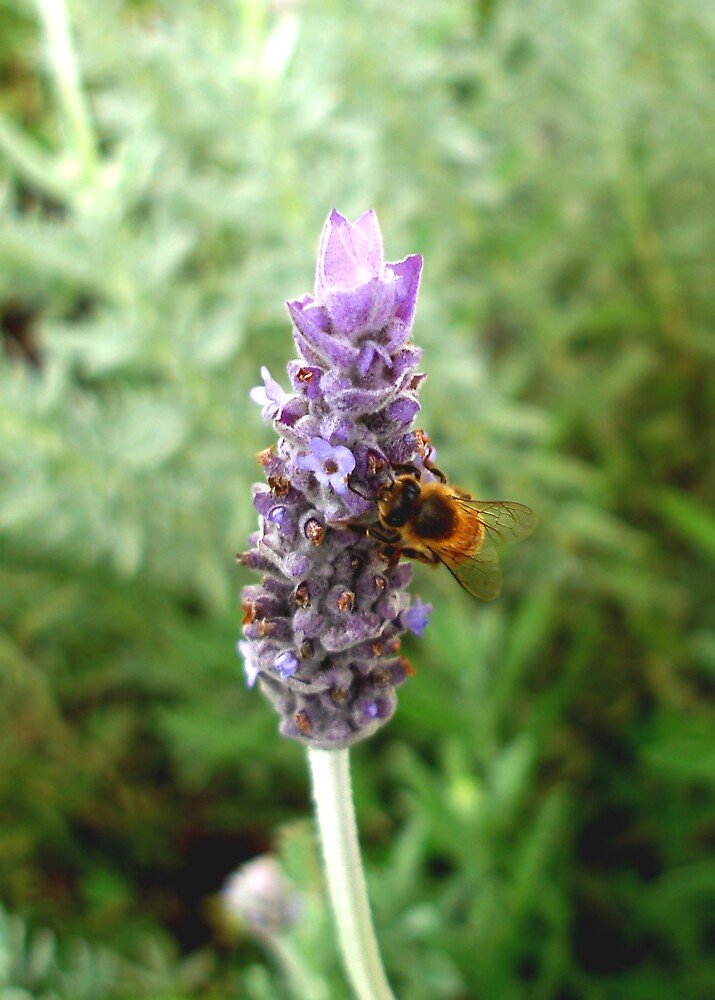 bee on lavender by Carolyn