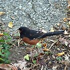 Howdy Towhee! by WalnutHill