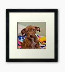 Pit Bull Mix Puppy  Framed Print