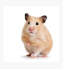 Cute Hamster Rodent  Photographic Print