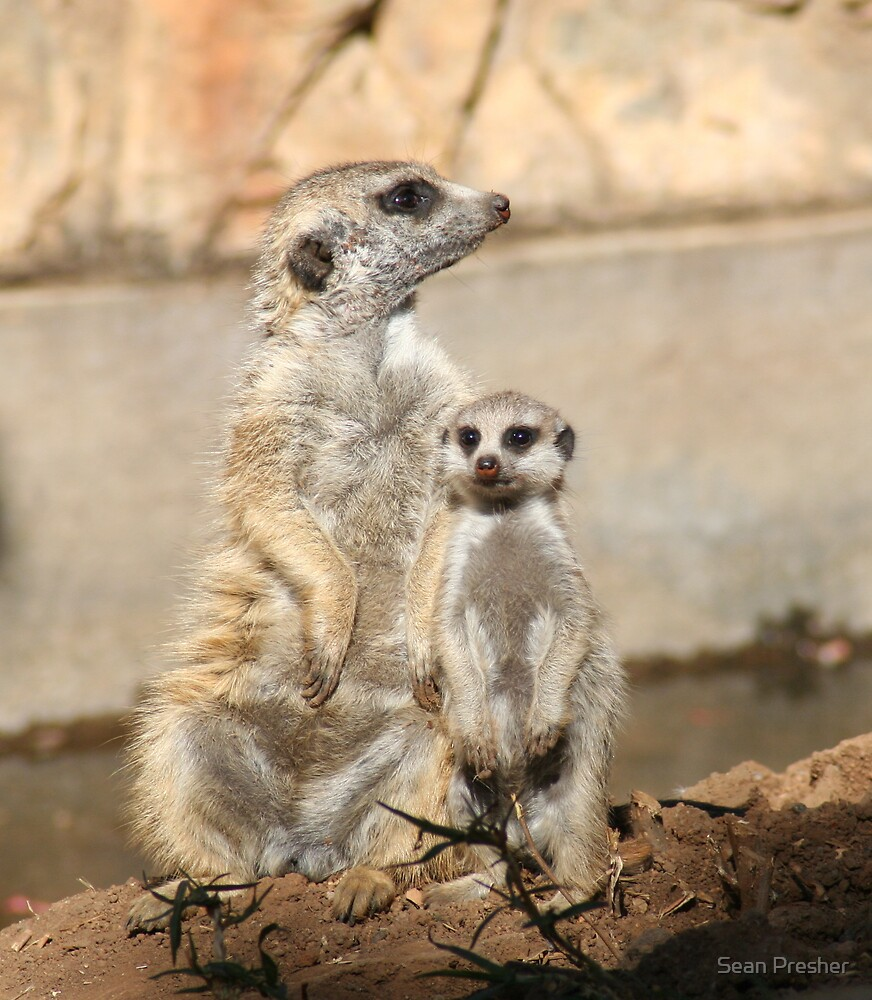Meercats by Sean Presher