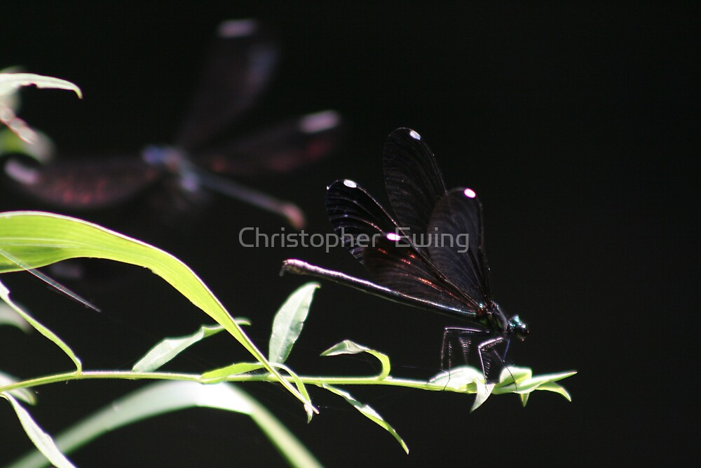 dragonflies by Christopher  Ewing