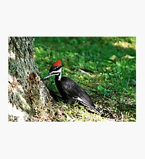 Young Pileated Woodpecker Photographic Print