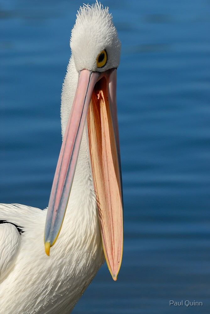 Pelican by Paul Quinn