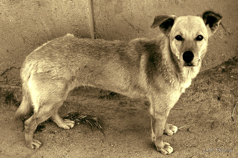 Street Dog by Lalit  Bhusal
