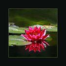 Beautiful water lily by Maryna Gumenyuk