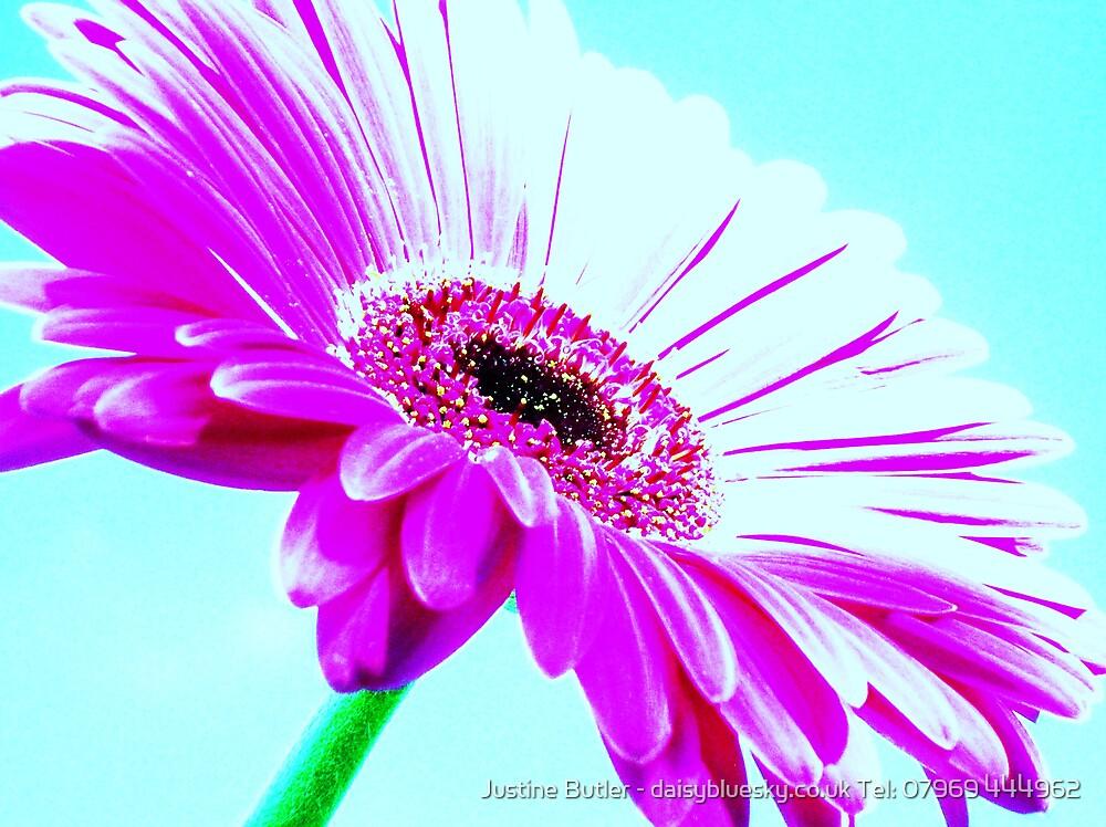 Shocking Pink Gerbera On Blue Sky by Justine Butler - daisybluesky.co.uk Tel: 07969 444962