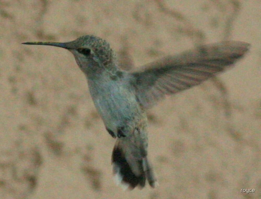 HUMMINGBIRD RE-FUEL by royce