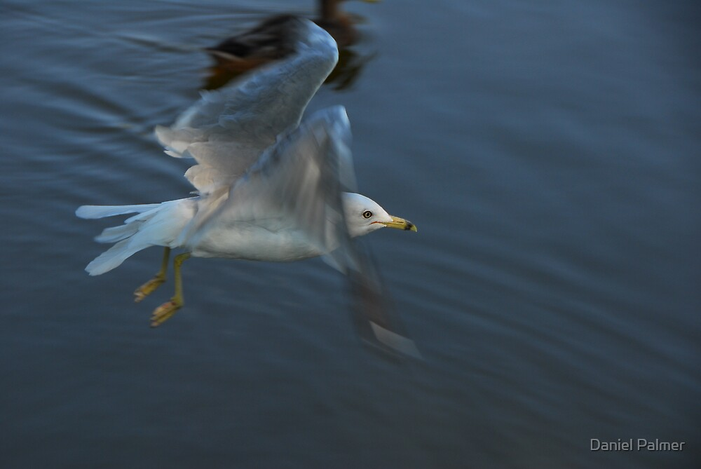 Seagull In Flight by Daniel Palmer
