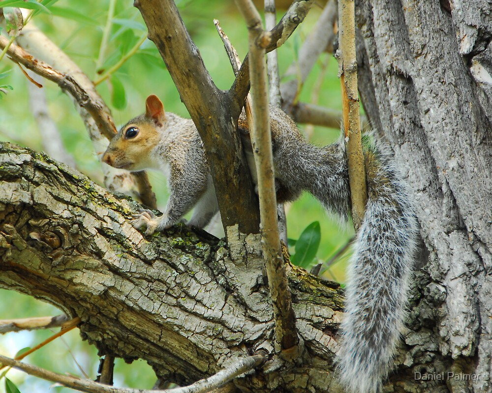 Gray Squirrel Wedged In by Daniel Palmer