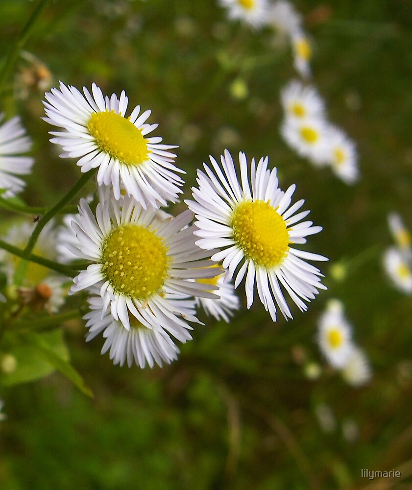 day for daisies by lilymarie