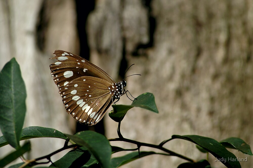 Australian Crow Butterfly by Judy Harland